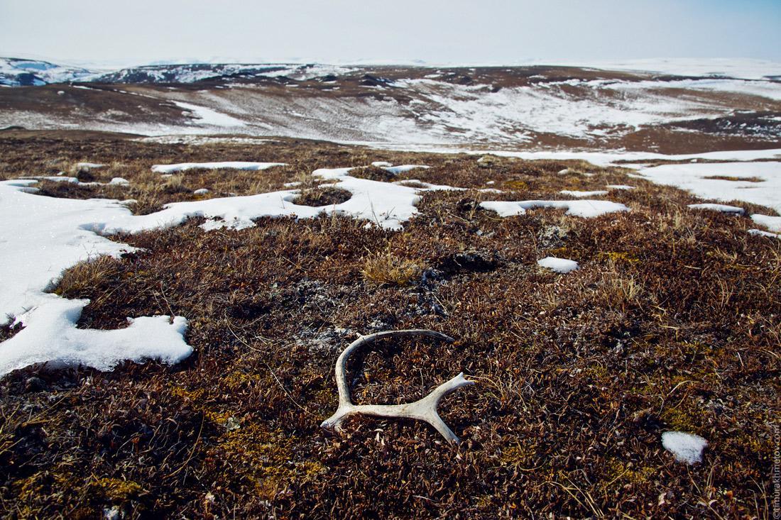 Весна в тундре. Даже рога напоминают резвящееся на солнце животное.