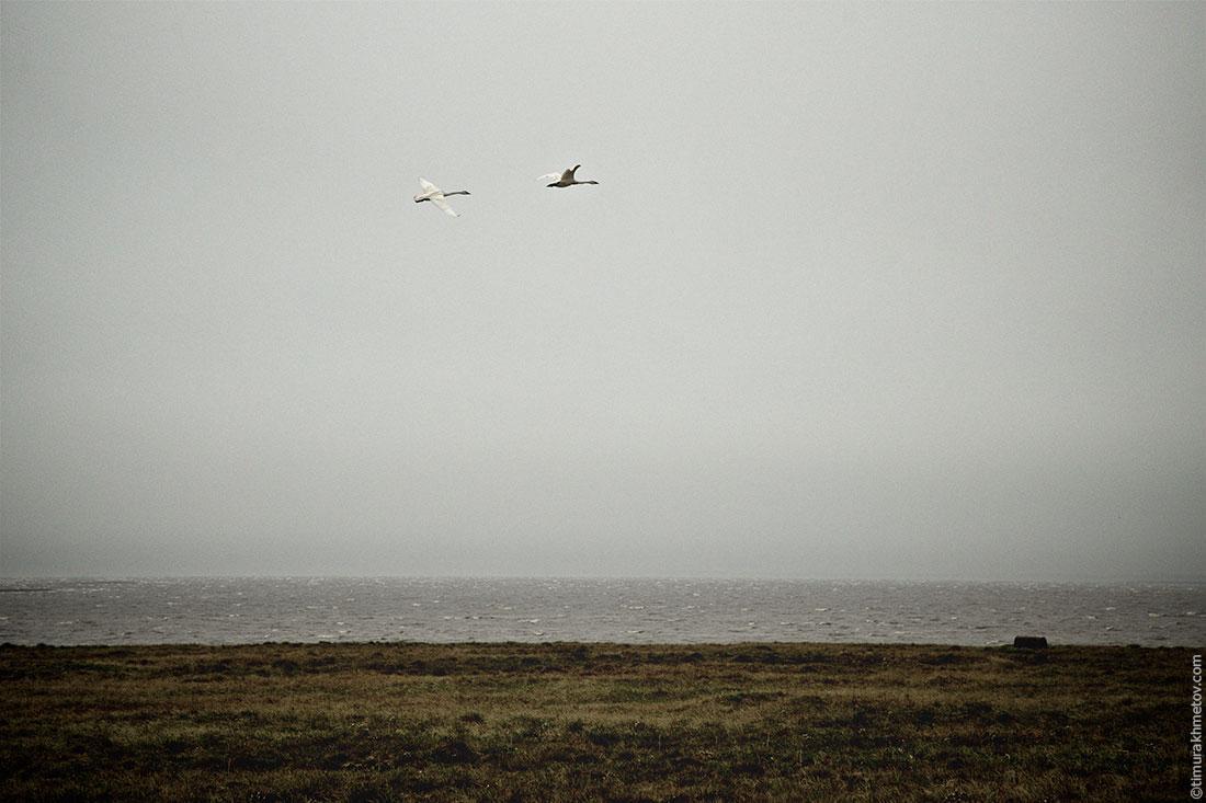 Лебеди в тундре
